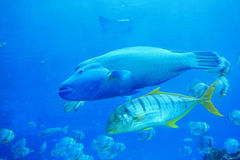 Beautiful big two tropical fish Royalty Free Stock Image