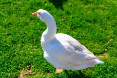 A beautiful big white goose in the meadow. A white goose on a lush green field stock photos