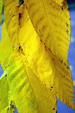 Beautiful big yellow autumn leaves closeup Stock Photos