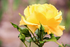 Beautiful big yellow rose. On a brown background Stock Photos