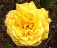 Beautiful Big Yellow Rose Detail stock photos