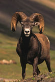 Beautiful Bighorn am Stock Image