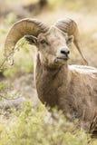 Beautiful bighorn portrait royalty free stock photo