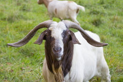 Beautiful Billy goat. In autumn outdoor stock photography