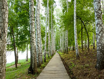 Beautiful birch alley in spring Stock Photography