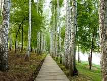 Beautiful birch alley in spring Royalty Free Stock Image