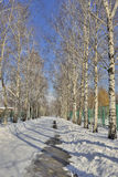 Beautiful birch alley in winter park Stock Photography