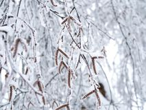 Beautiful birch branches with seeds covered with snow royalty free stock photography