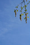 Beautiful birch catkins. Sky background Stock Image