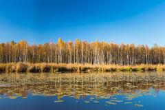 Beautiful Birch forest and pond in autumn season. Beautiful Birch forest and lake, pond, river in autumn season. Sunny day, clear sky Stock Photos