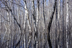 Beautiful birch forest and spring water Stock Photography