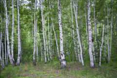 Beautiful birch forest in summer. Stock Image