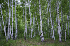 Beautiful birch forest in summer. Royalty Free Stock Photos
