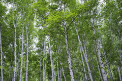 Beautiful birch forest in summer. Royalty Free Stock Images