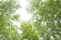 Beautiful birch forest in summer. Royalty Free Stock Photography
