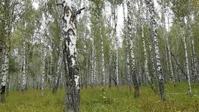 Beautiful birch forest. Walk through the summer park. A lot of smooth white birches. Symbol of Russia stock video footage