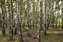 Beautiful birch forest on a warm summer day royalty free stock photo
