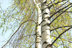 Beautiful birch with green leaves in spring against the sky. Stock Photography