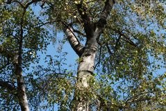Beautiful birch with green leaves royalty free stock photography