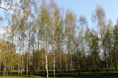 Beautiful birch grove. royalty free stock images
