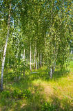 Beautiful birch grove Royalty Free Stock Photography