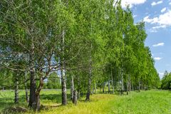Beautiful birch grove in summer sunny day. Village landscape. royalty free stock photo