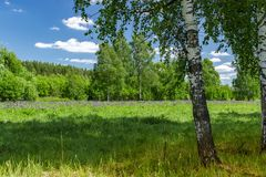 Beautiful birch grove in summer sunny day. Village landscape. royalty free stock photos