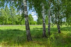 Beautiful birch grove in summer sunny day. Village landscape. stock images