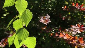 Beautiful birch leaves stock footage