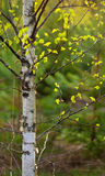 Beautiful birch at sunset stock image