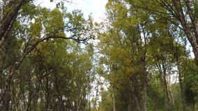 Beautiful birch tree forest in the arctic circle autumn nature with light breeze. Low angle view stock video footage