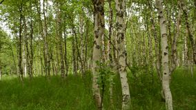 Beautiful birch tree forest in the arctic circle autumn nature with light breeze. Moving the tree branches. panning left stock footage