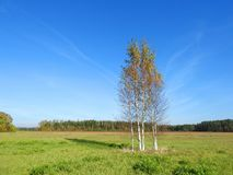Autumn birch trees in meadow, Lithuania stock photo