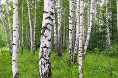 Beautiful birch trees Stock Photography