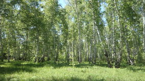 Beautiful birch trees in a summer forest stock video footage
