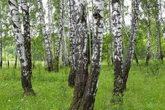Beautiful birch trees Royalty Free Stock Photos
