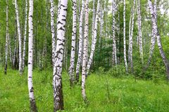 Beautiful birch trees Stock Images
