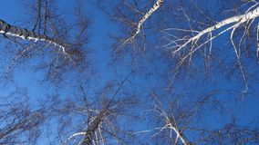 Beautiful birch trees at sunny winter day. Beautiful birch trees at the sunny winter day stock video