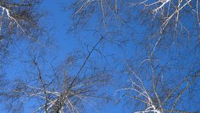 Beautiful birch trees at the sunny winter day stock video