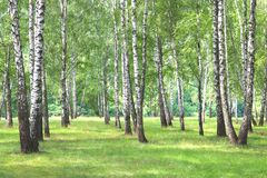 Beautiful birch trees with white birch bark in birch grove. With green birch leaves in summer royalty free stock photo