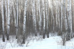 Beautiful birch trees in winter Royalty Free Stock Photography