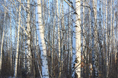 Beautiful birch trees in winter Royalty Free Stock Photo