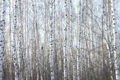 Beautiful birch trees in winter Stock Photos