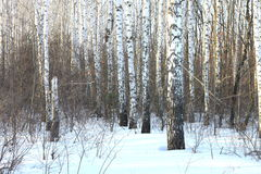 Beautiful birch trees in winter Stock Photography