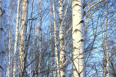 Beautiful birch trees in winter Royalty Free Stock Images