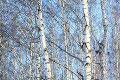 Beautiful birch trees in winter Royalty Free Stock Photos