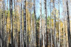 Birch trees in autumn royalty free stock photography