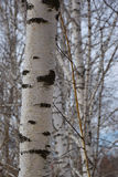 Beautiful birch trunk in early spring. Royalty Free Stock Images