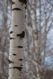 Beautiful birch trunk in early spring. Stock Image