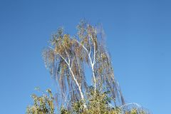 Birch with yellow leaves against the blue sky аutumn stock photo